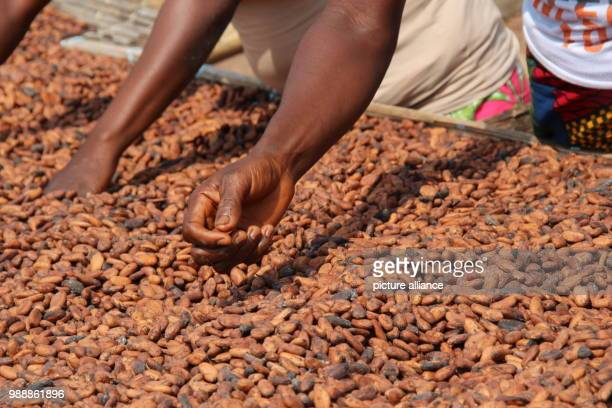 Women dry cocoa beans that were harvested shortly before in the sun in the village Konan Yaokro, Ivory Coast, 1 December 2017. Most chocolate in...