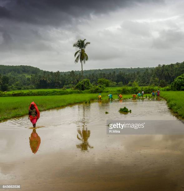 women farmers sowing seeds in monsson! - monsoon stock pictures, royalty-free photos & images