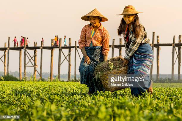 women farming ground nuts at u bein bridge - merten snijders stock pictures, royalty-free photos & images