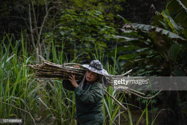 Women gather sugarcane on the farm in the Elephant Conservation Center where elephant food is grown Sayaboury Laos in December 2018 Laos was known as...