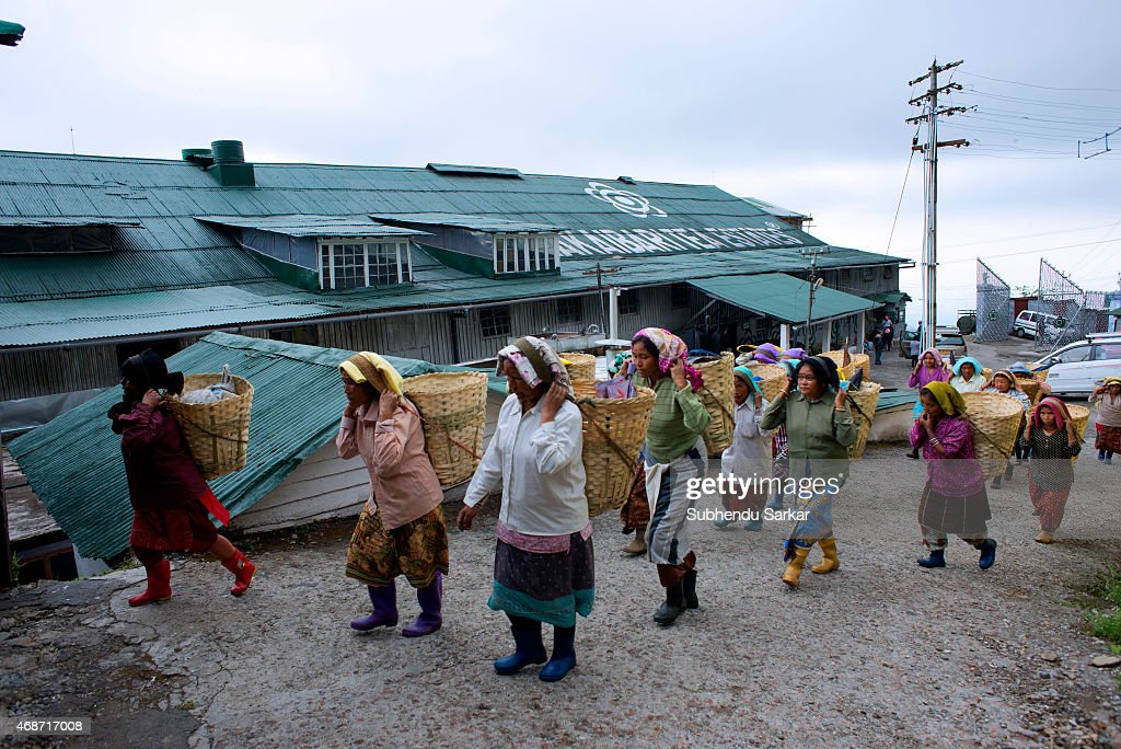Makaibari Tea Estates : Nachrichtenfoto