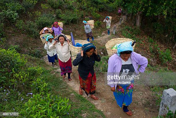 Women go to factory taking plucked tea leaves at Makaibari tea garden Set up in 1859 off Kurseong in the Darjeeling hills the Makaibari estate is the...