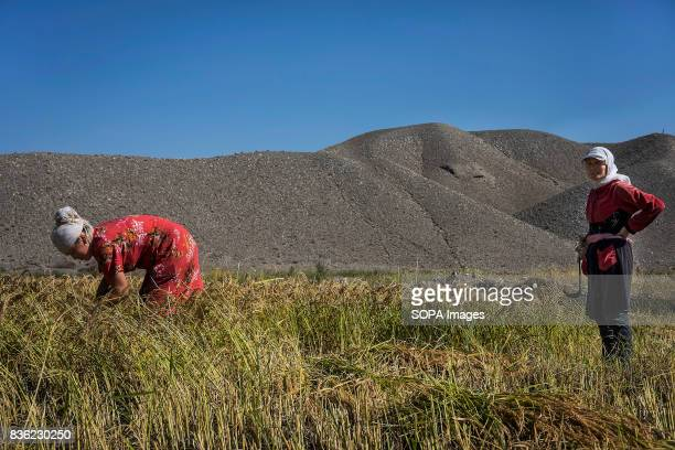 Women harvest rice a waterthirsty crop near the River Soh in Aktorpak Kyrgyzstan In rural areas people face serious problems with water supply...