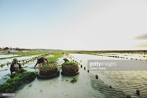 Women harvest seaweed from low tide flats Nusa Lembongan, Bali. At high tide, the agricultural tracts are covered by seawater, and revealed as the...