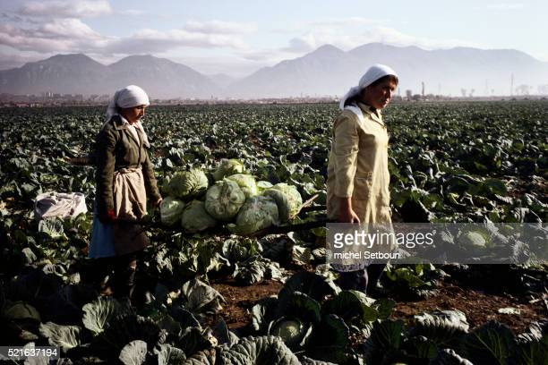 Women Harvesting Cabbage in Tirane