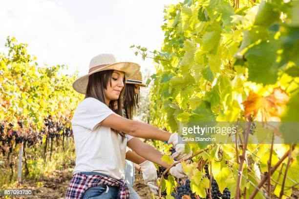 Vrouwen oogsten van de druiven in de wijngaard