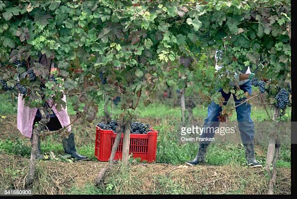 Women Harvesting in Piedmont Vineyard