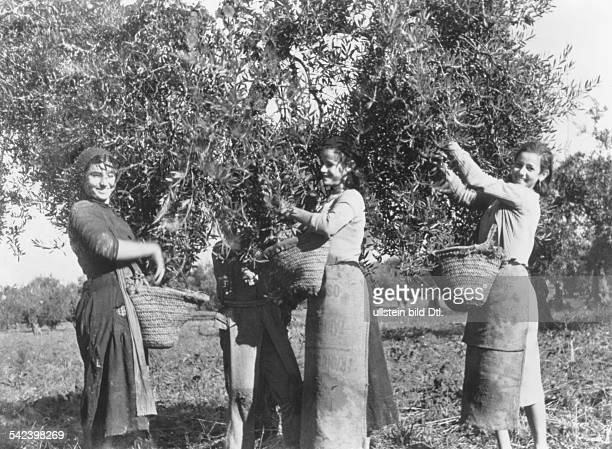 Women harvesting olives
