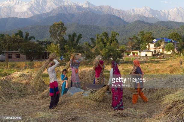 Women harvesting paddy crop by beating sheaves of paddy on an iron drum to get the paddy which will later be sent to a rice mill Dhauladhar mountain...