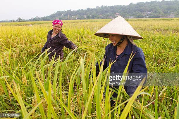 women harvesting rice - nga nguyen stock pictures, royalty-free photos & images