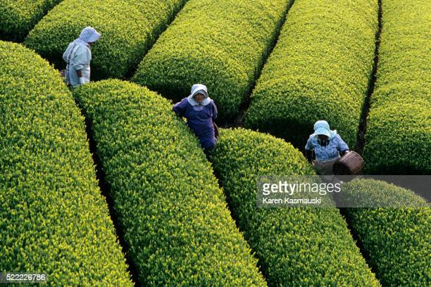 women harvesting tea in japan - shizuoka stock pictures, royalty-free photos & images