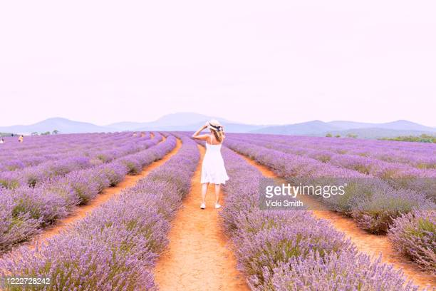 women in a white dress standing in a lavender field - tasmania stock pictures, royalty-free photos & images