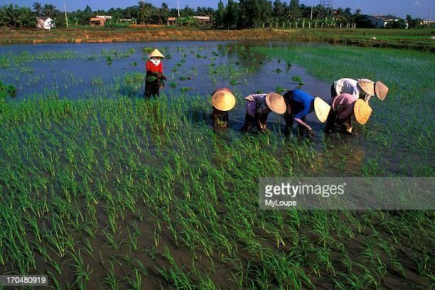 Women in Colorful Rice Field Vietnam Mekong Delta