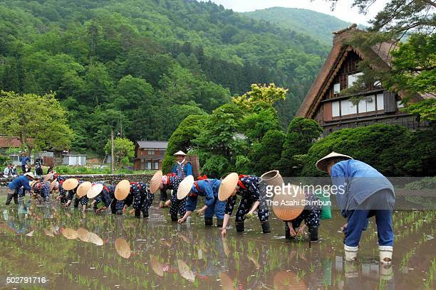 Women in 'Saotome' rice planting women costumes plant rice on a rice paddy in front of the thatched farm houses on May 29 2006 in Shirakawa Gifu Japan