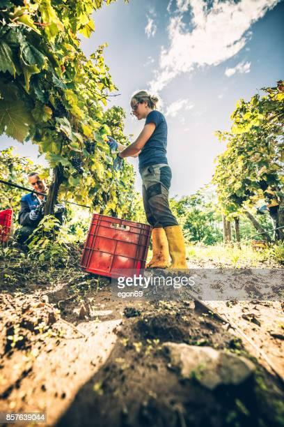 Vrouwen in de wijngaard oogsten van druiven