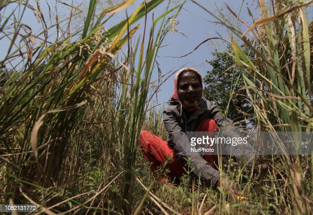 A women is seen harvesteting rice from a field using traditional method at a village in Kolhapur On October 14 2018 According to the third advance...
