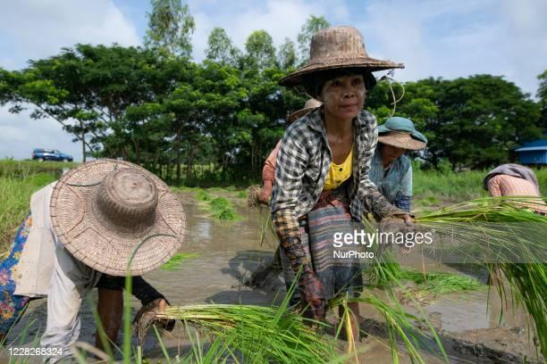 Women labourers are working in a paddy field in Maubin, Irrawaddy Region, Myanmar on August 30, 2020.