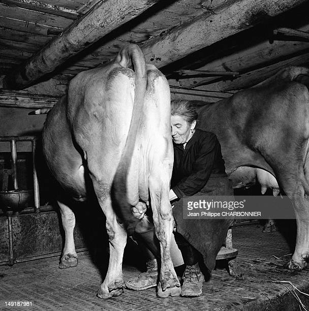Women milking a cow circa 1954 in Saint Veran France