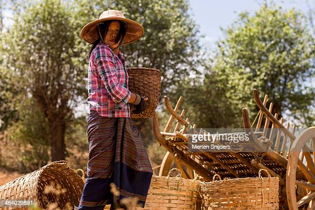 women of pa'o tribe farming ginger - merten snijders stock pictures, royalty-free photos & images