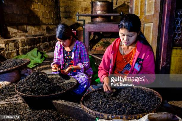 Women of the Palaung hill tribe are sorting out tea leaves in Hin Khar Kone village