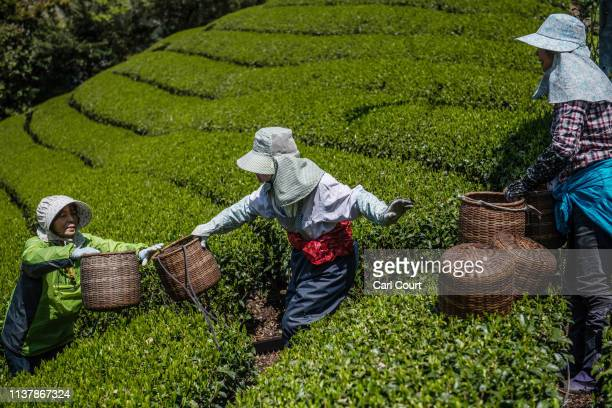 Women pass buckets of leaves for collection as they pick tea leaves at the Moriuchi Tea Farm on April 18, 2019 in Shizuoka, Japan. Japan produces...