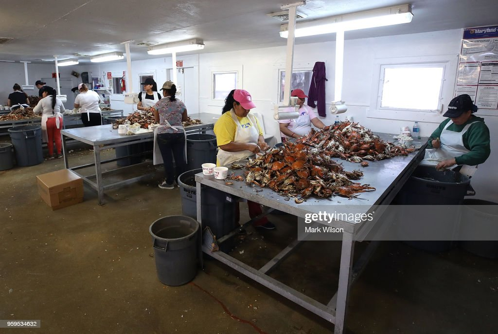 Women pick crabs at the W.T. Ruark Seafood Co., on May 17, 2018 in Hoopers Island, Maryland. Due to a new lottery system this year several seafood companies failed to get temporary H-2B visas for their mostly Mexican workforce that has been coming to the Maryland eastern shore for over two decades to pick the crab meat that is sold in restaurants and stores on the east coast.