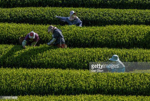 Women pick leaves at the Moriuchi Tea Farm on April 18, 2019 in Shizuoka, Japan. Japan produces approximately 100,000 tons of green tea per year....