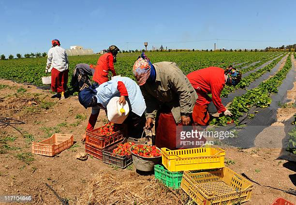 Women pick up strawberries on April 8 2011 in Menzel Bourguiba some 60 kilometers north of Tunis AFP PHOTO FETHI BELAID
