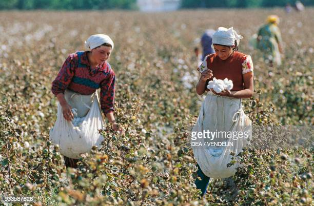 Women picking cotton on a plantation Uzbekistan