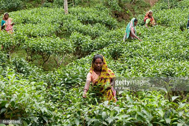 SRIMONGOL SYLHET DHAKA BANGLADESH Women picking tea which is a specialized skill Two leaves and a bud need to be plucked in order to get the best...