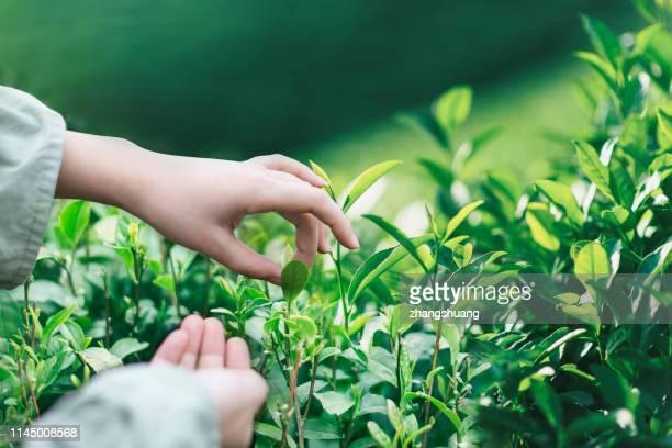 women picking up tea leaf, hangzhou, china - hoja te verde fotografías e imágenes de stock