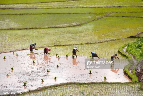 women planting rice in terraced rice fields near the ban xieng fa village, tai lue tribe, near boun neua, phongsali province, laos, southeast asia - oost stockfoto's en -beelden