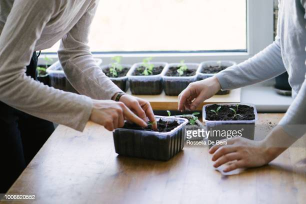 women planting seedlings indoors - cultivated stock pictures, royalty-free photos & images