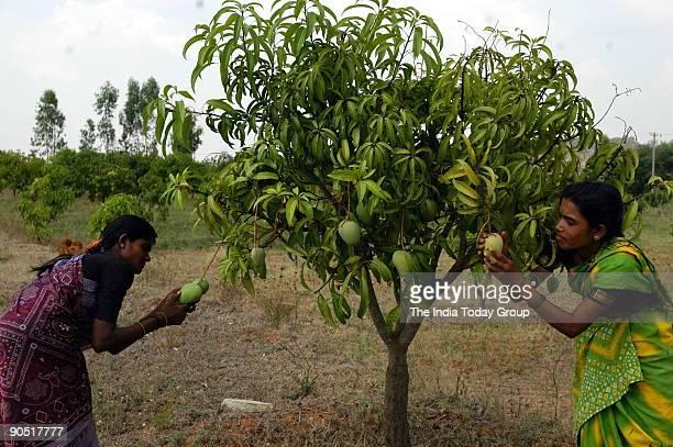 Women plicks mangos from Mango tree in Bangalore