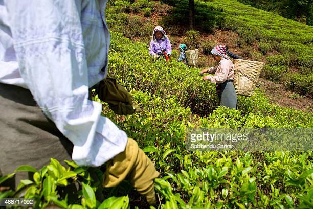 Women pluck tea leaves at Makibari tea garden Set up in 1859 off Kurseong in the Darjeeling hills the Makaibari estate is the worlds first tea...
