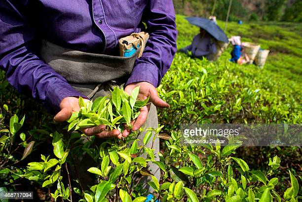 Women pluck tea leaves at Makibari tea garden Set up in 1859 off Kurseong in the Darjeeling hills the Makaibari estate is the worlds first tea...