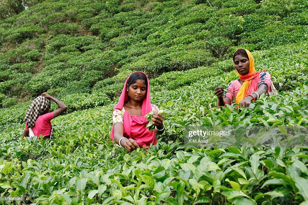 Women plucking tea leaves from a tea garden. Tea Plucking is... : News Photo