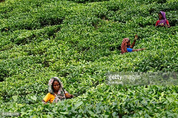 SRIMONGOL SYLHET DHAKA BANGLADESH Women plucking tea leaves from a tea garden Tea Plucking is a specialized skill Two leaves and a bud need to be...
