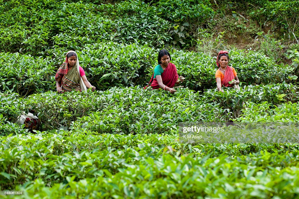 Women plucking tea leaves from a tea garden. Tea Plucking is... : News Photo