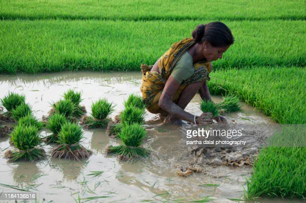 a women preparing paddy plant - terai stock pictures, royalty-free photos & images