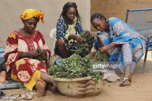 women removing the roots of mint leaf - mint plant family fotografías e imágenes de stock