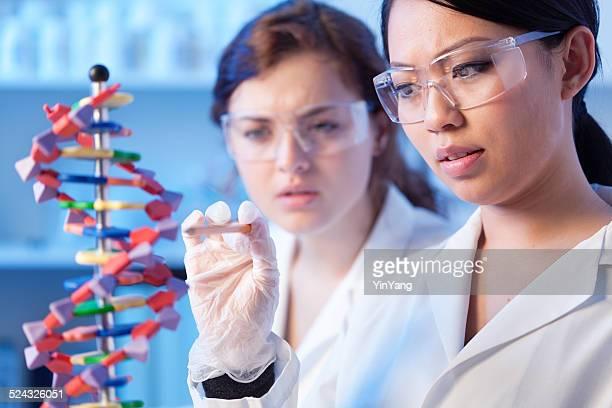 Las mujeres en la investigación de laboratorio de ciencia los estudiantes que estudian hebra de ADN modelo