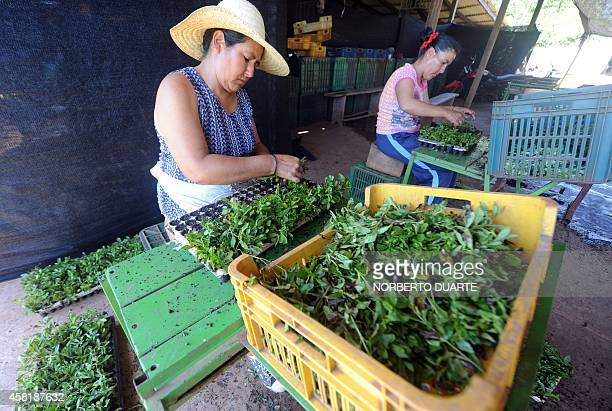 Women select plants in a plantation of stevia on October 18 2014 in Guayaibi 175 km north of Asuncion Following the approval by the US and European...