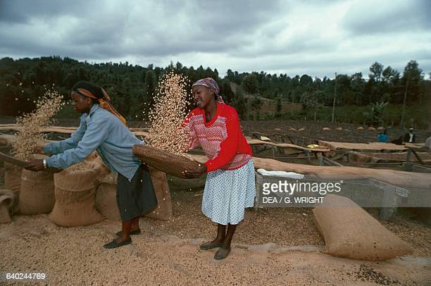 Women sifting coffee from dried drupe fruit Mogambo near Meru Kenya