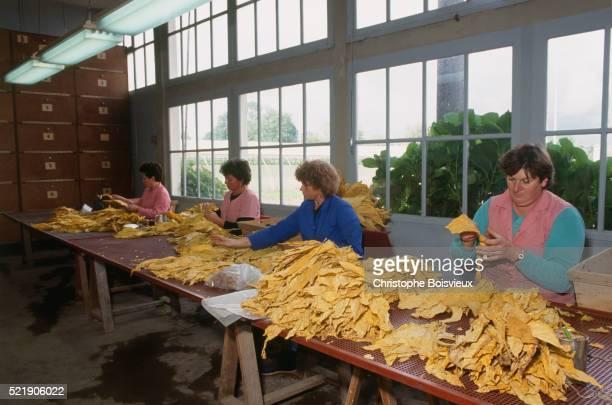 women sorting tobacco leaves - ベルジュラック ストックフォトと画像