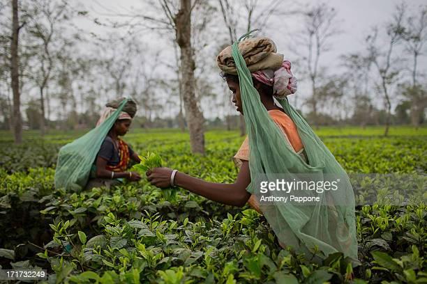 CONTENT] women Tea picker with the big hat near Dibrugarh Assam India