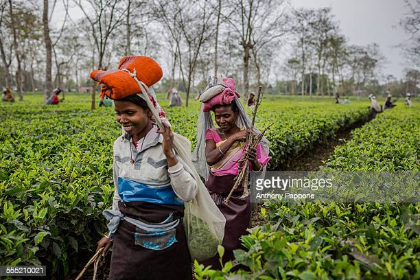 women tea pickers near Dibrugarh Assam India