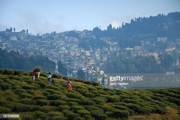 Women tea plantation workers walk through the plantations on their way home at the end of the day Darjeeling can be seen on the hillside in the...