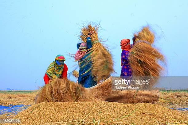 Women Threshing paddy at fields, Punjab Pakistan.Punjabi women works with family and earn money to share their families expenses.