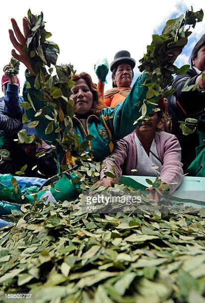 60 Top Coca Leaf Pictures, Photos, & Images - Getty Images